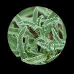 OnycoSolve : les composants naturels du spray pour la mycose des pieds et des ongles